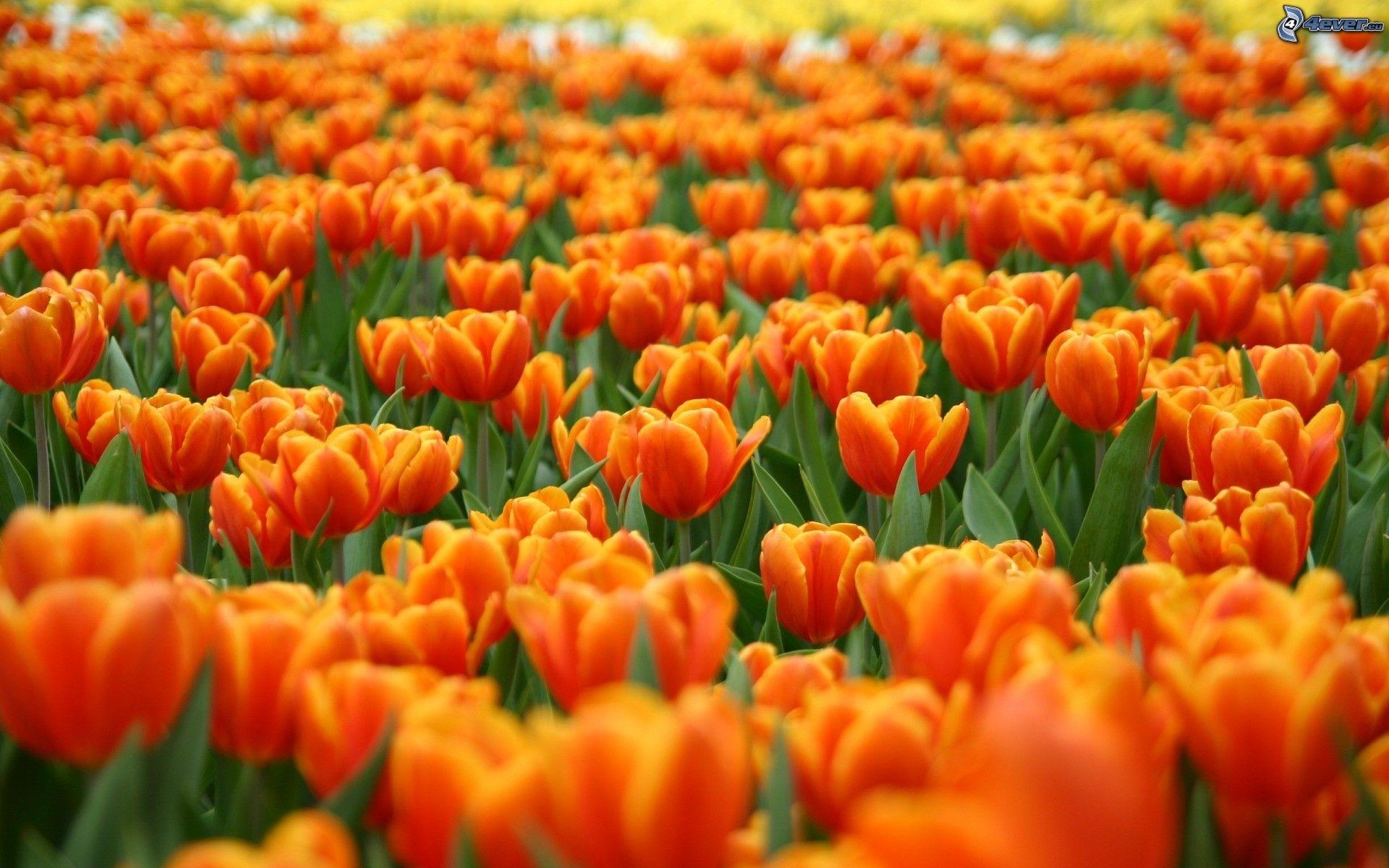 tulipani-arancioni-203171